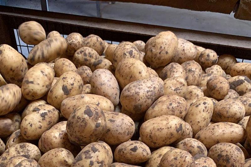 Annahme von Kartoffeln